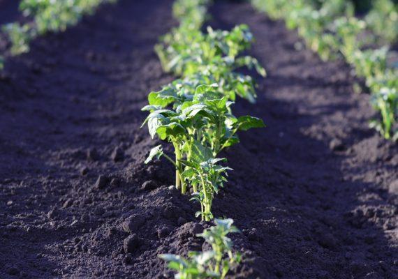 Najważniejsze pierwiastki w rolnictwie – krzem