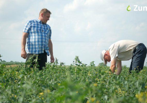 Zmiany po zastosowaniu nawożenia krzemem były widoczne gołym okiem na plantacji Tomasza Obszańskiego. Fot. Perma-Guard Agro