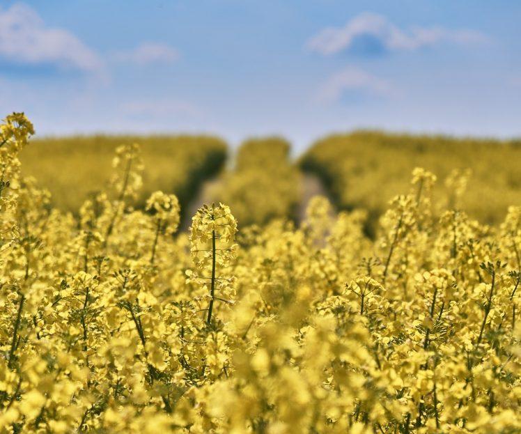 Stosowanie krzemu w uprawach rolniczych