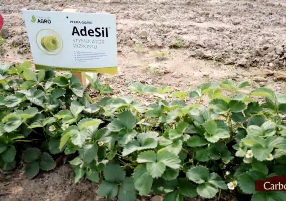 Jak uniknąć problemów przy monokulturze truskawki